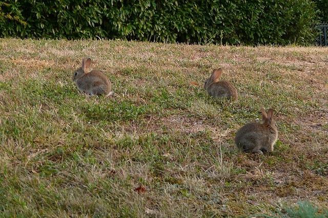 Le mode de vie du lapin de garenne - Cuisiner un lapin de garenne ...