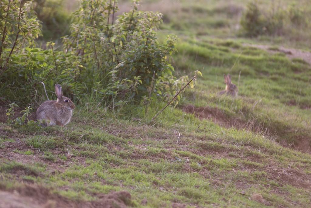Un lapin de garenne en éclaireur