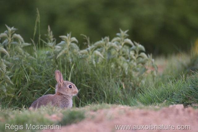 jeune lapin de garenne