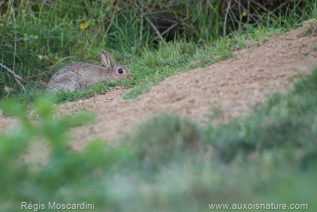 Un lapin de garenne à la recherche de nourriture