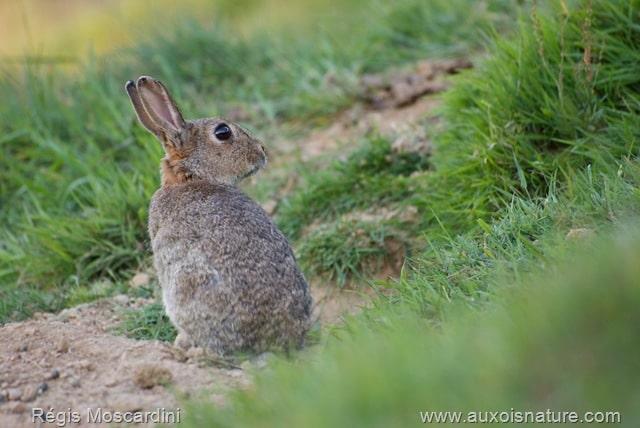 Un lapin de garenne de profil