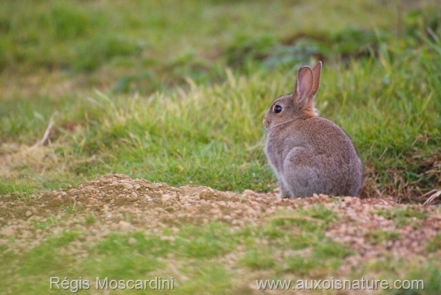 Une jeune lapin de garenne coopératif