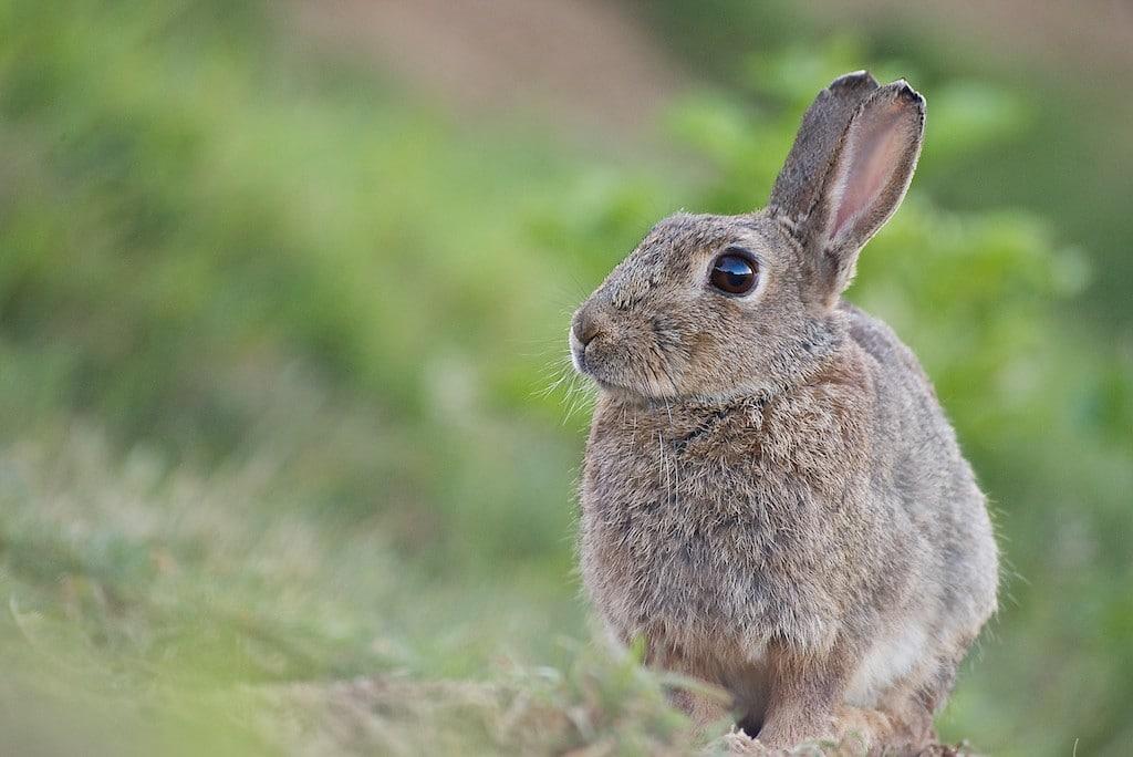 Oreille fendue le lapin de garenne - Comment couper les griffes d un lapin ...