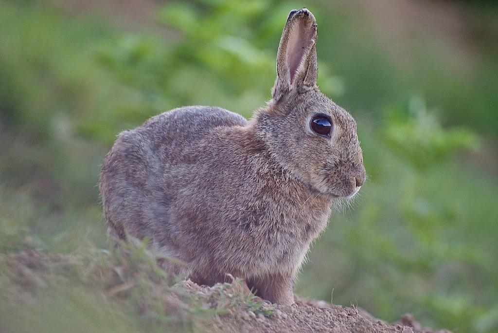 Oreille fendue le lapin de garenne - Cuisiner un lapin de garenne ...