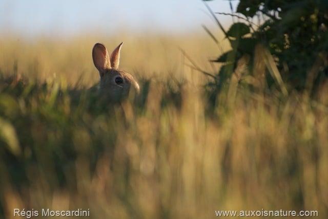 Un lapin de garenne au coucher de soleil