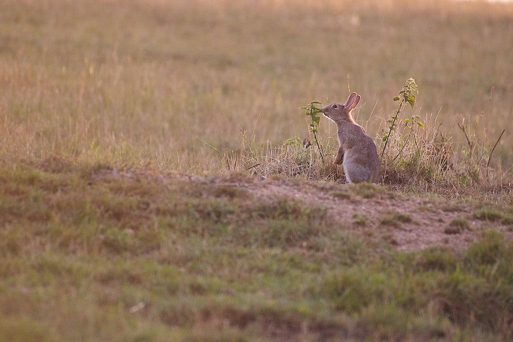 Un lapin de garenne mangeant une ortie