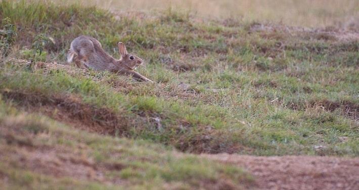 Un lapin de garenne en plein étirement