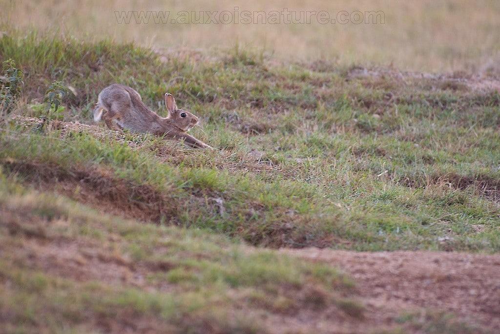 Le lapin de garenne est-il en danger ?