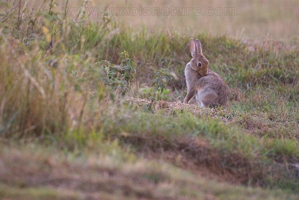 La vie tranquille du lapin de garenne - Cuisiner un lapin de garenne ...