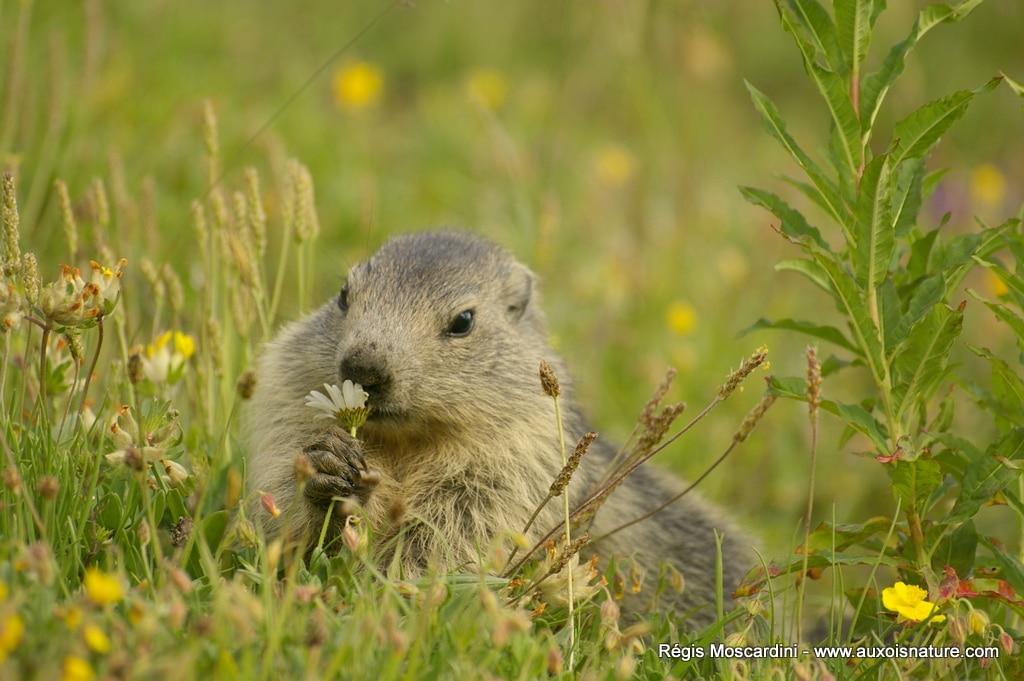 photo de marmotte auxois nature