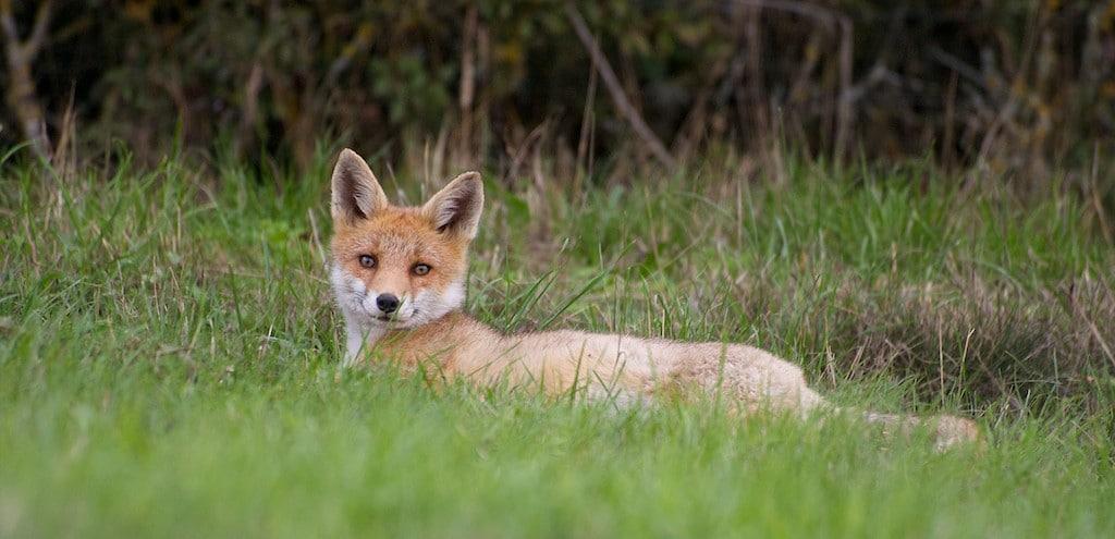Un renard roux au repos