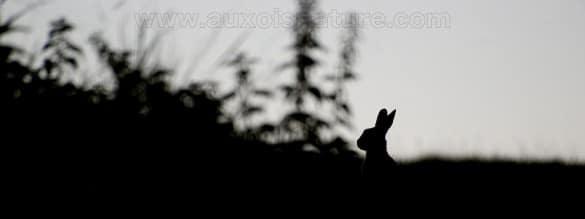 lapin de garenne en contre jour 585x219 Super défi   semaine 13 : Tirer le maximum de vos sorties photo, lexemple du lapin de garenne