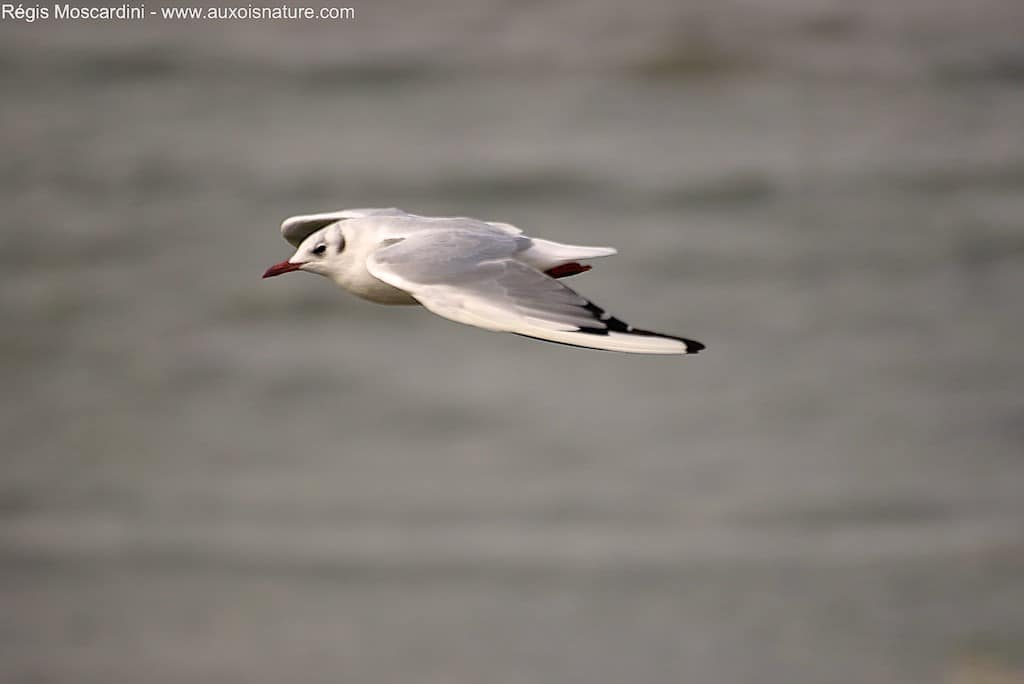Comment faire pour photographier des oiseaux en vol – Partie 2