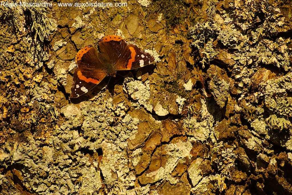 Papillon le vulcain Vanessa atalanta