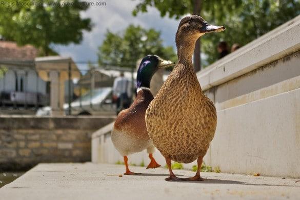 canard de ville 585x390 5 principes de base à appliquer en photo animalière