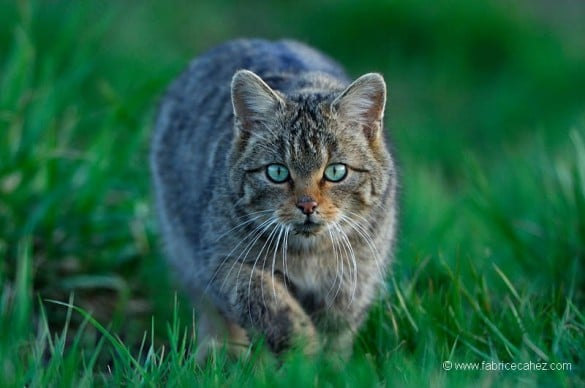 chat sauvage fabrice cahez 585x388 [Podcast] Interview de Fabrice Cahez : photographe animalier