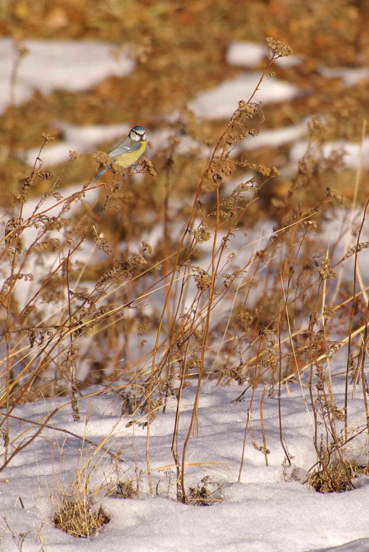 Bien photographier les oiseaux grâce à la neige