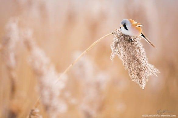 Michel_d_oultremont_photographe_animalier_belge_panure_a_moustache