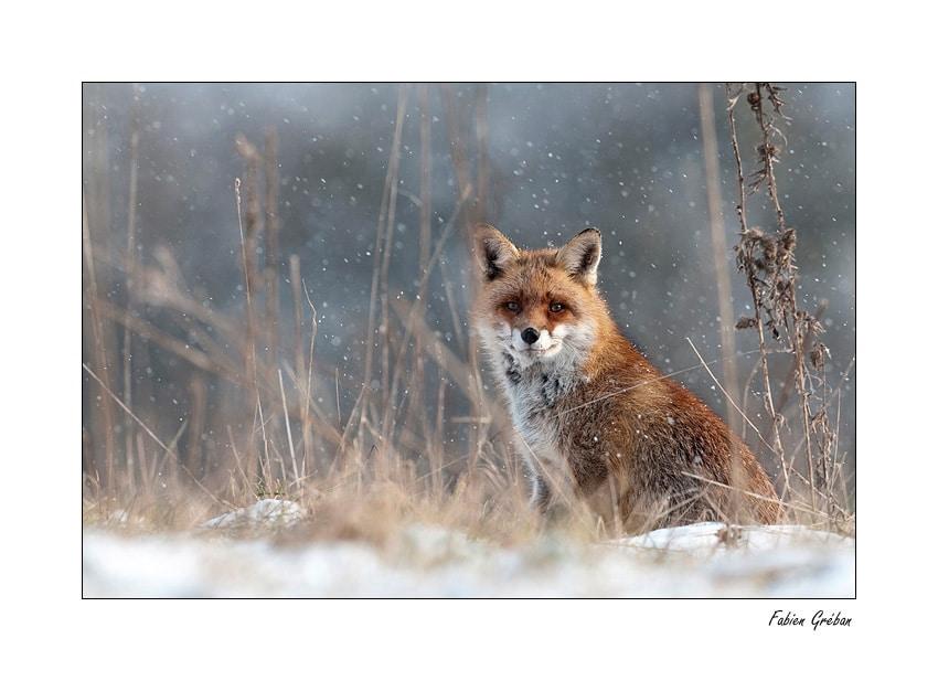 Renard en hiver