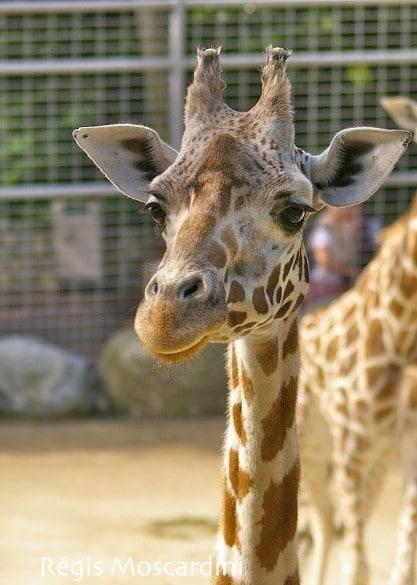 zoo palmyre2 417x585 [La Boite à Photos] Comment réussir un portrait dans un parc animalier