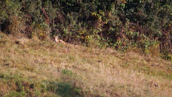 renard roux 1 1 585x329 Comment photographier les animaux sauvages dans leur environnement