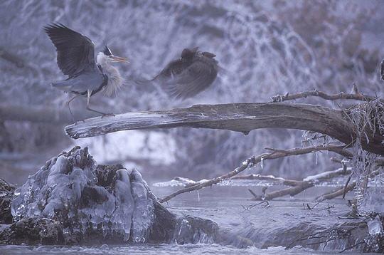 vincent munier combat heron cendre buse variable Comment photographier les animaux sauvages dans leur environnement