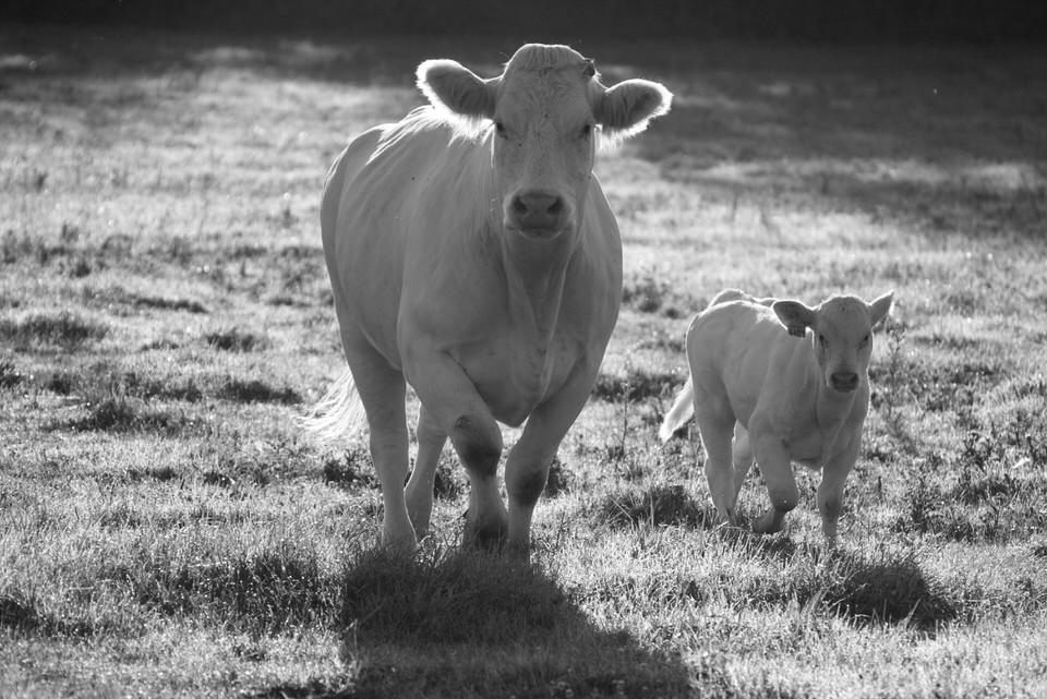 vache charolaise et son veau