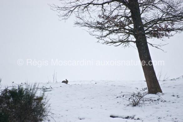 lapin garenne neige 1 585x390 7 astuces pour la photographie animalière en hiver