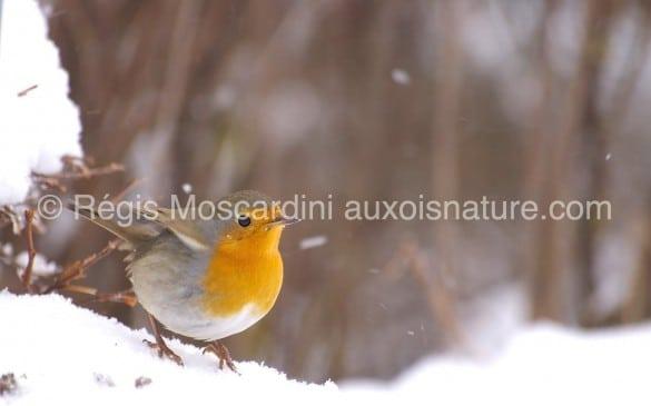 rouge gorge neige 585x365 7 astuces pour la photographie animalière en hiver