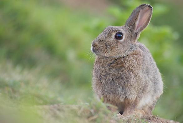 Un portrait de lapin de garenne © Régis Moscardini
