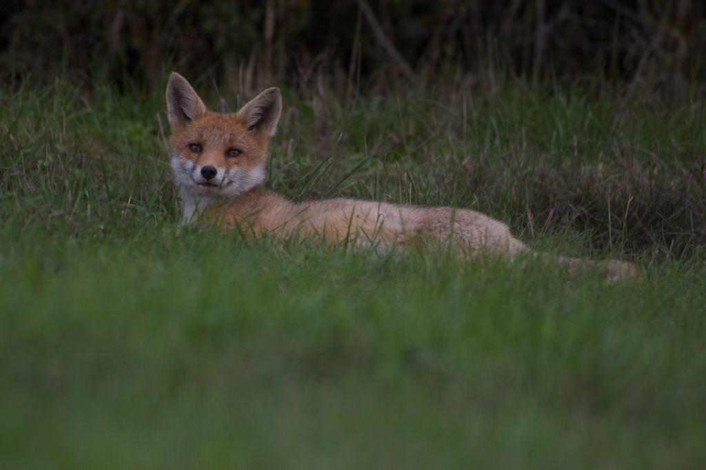 Un renard roux sans traitement numérique