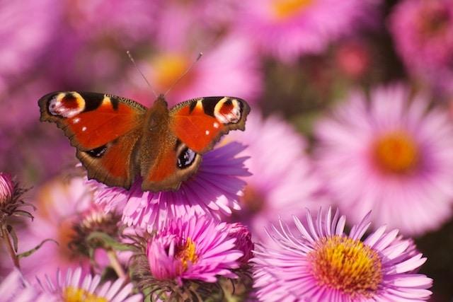 Photographier les papillons en 3 étapes
