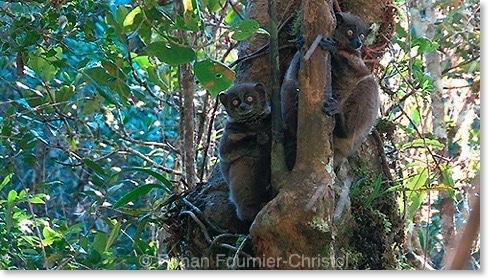 epilemurs Madagascar : le dernier film inédit de Ronan Fournier Christol