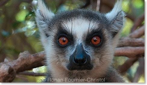 maki catta Madagascar : le dernier film inédit de Ronan Fournier Christol
