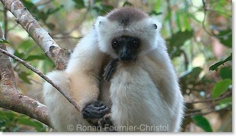 sifaka soyeux 2 Madagascar : le dernier film inédit de Ronan Fournier Christol
