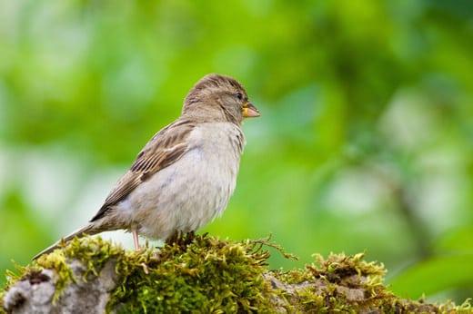 oiseau moineau femelle