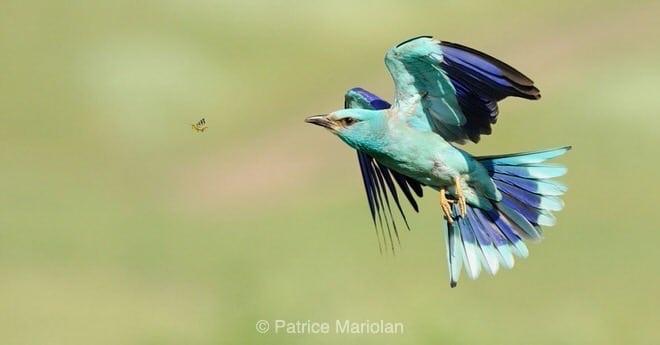 [Podcast #20] Patrice Mariolan, photographe d'oiseaux