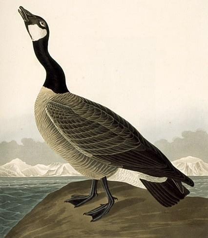 Une Bernache du Canada (morte donc ...) peinte par Jean-Jacques Audubon