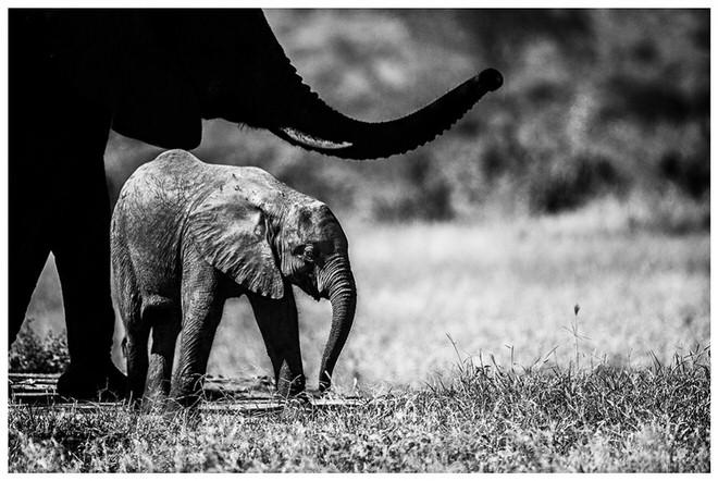 phoca_thumb_l_elephanteau_nb-1
