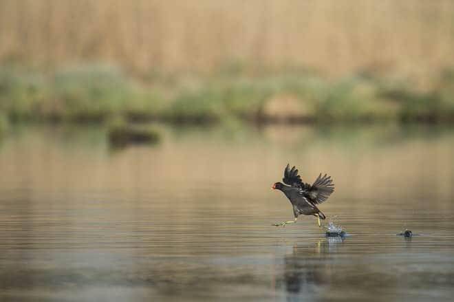 phoca_thumb_l_oiseaux_etang-3-1