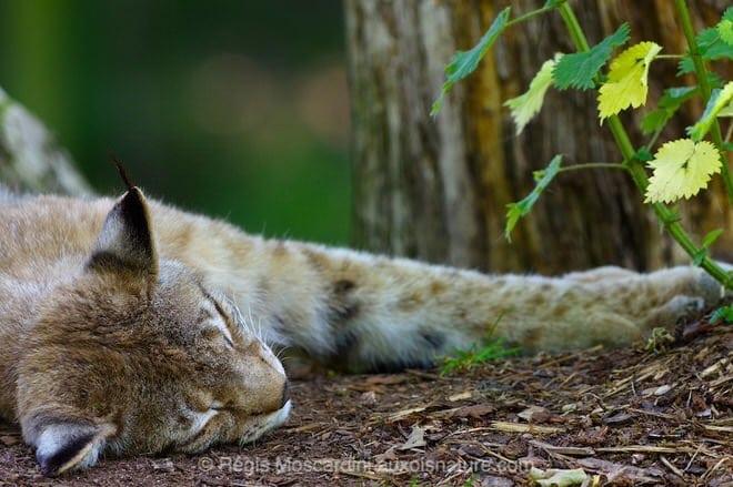 Un portrait de Lynx effectué au 1/125 à f/4. Un mammifère au repos, c'est pratique ! (photo prise au parc animalier de Ste Croix)