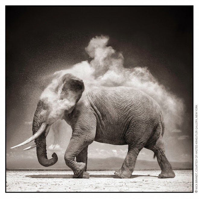 Elephant With Exploding Dust BTP