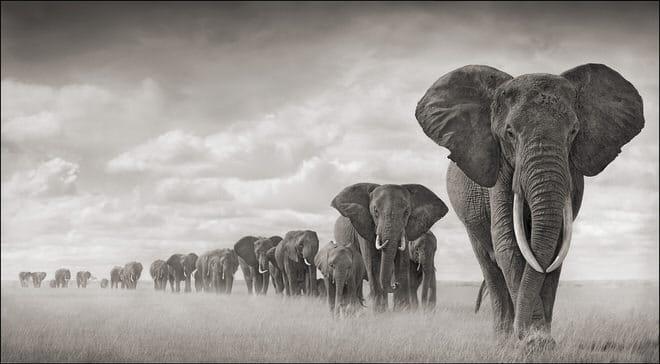 Elephants Walking Through Grass 18inW