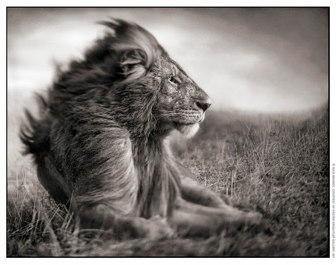 Lion Before Storm II- Sitting Profile 15inW
