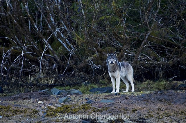 Mieux vaut connaitre le loup pour le photographier ! © Antonin Charbouillot