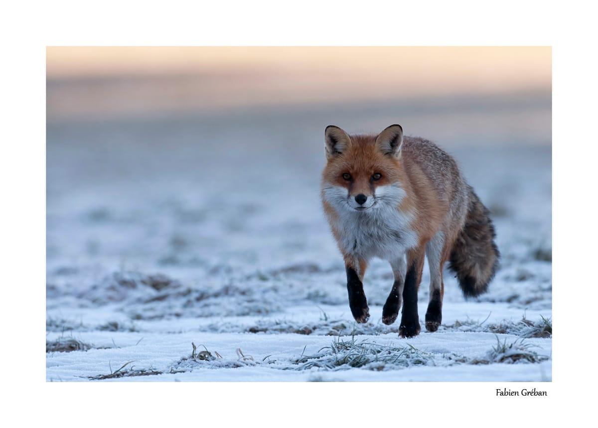 Photographier le renard : le guide complet