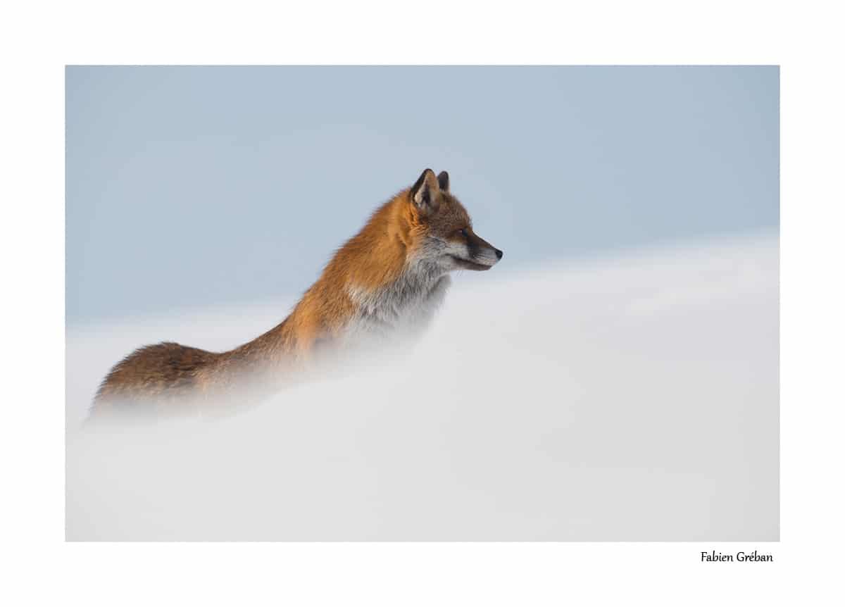 Renard roux en hiver dans le massif du jura