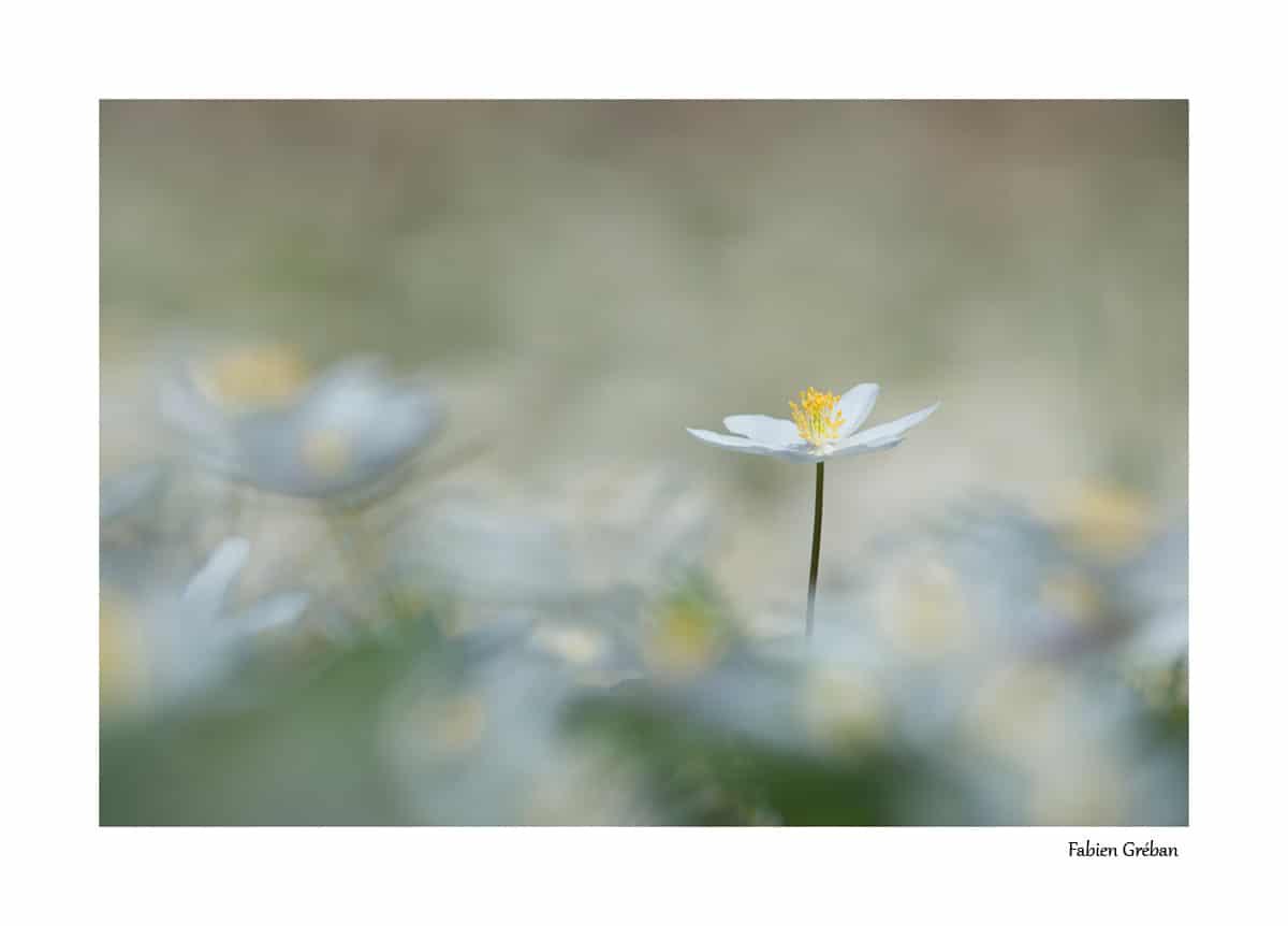 Tapis d'anémone sylvie en fleur (mois d'avril, massif du jura, 700m d'altitude)