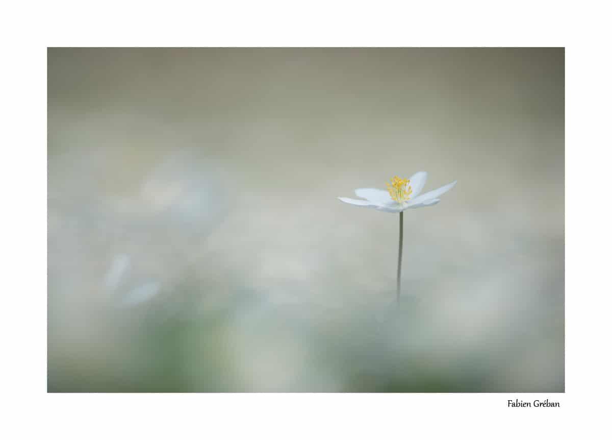 anémone sylvie en fleur (mois d'avril, massif du jura, 700m d'altitude)