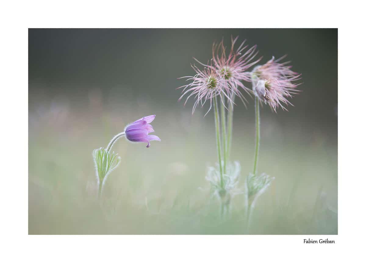 Anemone pulsatille en fleur et en graine.